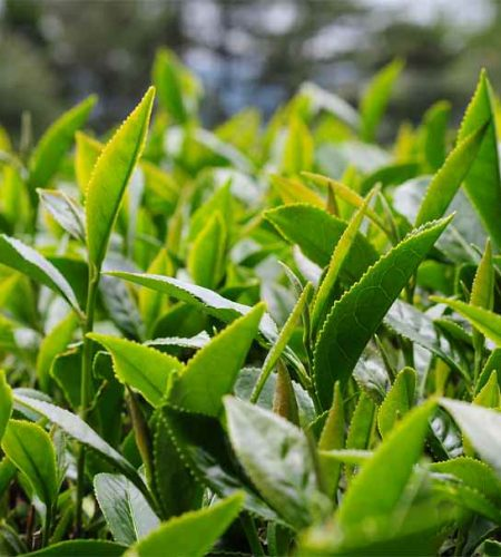 杉林溪高山茶-龍鳳峽4